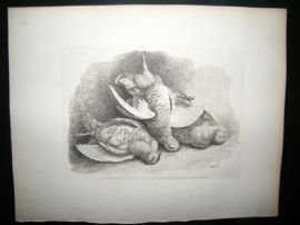 Howitt 1811 Antique Etching. Game Birds